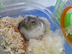 Bart, rongeur Hamster