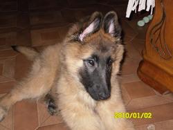 Eyden, chien Berger belge