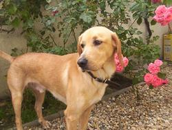 Snatsh, chien Labrador Retriever