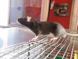 Bacchus Engel, rongeur Rat