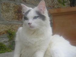 Sacha, chat Angora turc