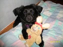 Swany, chien Spitz allemand