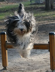 Xao, chien Bearded Collie