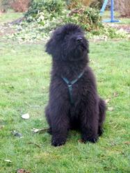 Elfie, chien Bouvier des Flandres
