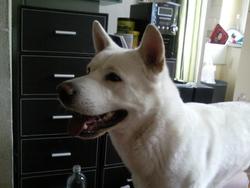 Diamant, chien Akita Inu