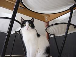 Kimmy , chat Européen