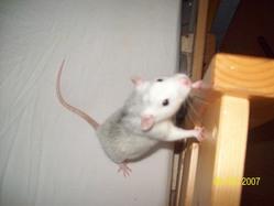 Fylou, rongeur Rat