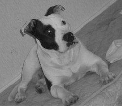 Pari, chien American Staffordshire Terrier