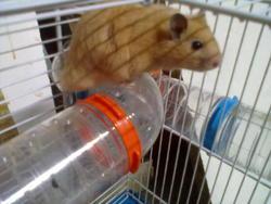 Twingo, rongeur Hamster