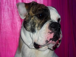Day , chien Bulldog