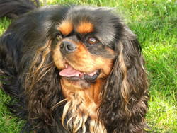 Cyrius Black Du Mont Berrue, chien Cavalier King Charles Spaniel