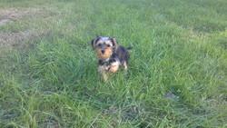 Canelle, chien Yorkshire Terrier