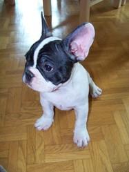 Zéro, chien Bouledogue français