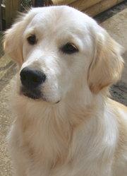 Boomer, chien Golden Retriever