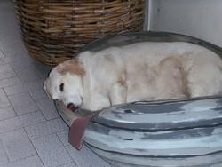 Roxie, chien Labrador Retriever