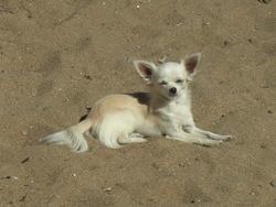 Engie, chien Chihuahua