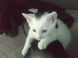 Léo, chat Européen