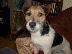 Diwan, chien Jack Russell Terrier