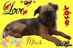 Milva Dite Mimie , chien Griffon bruxellois