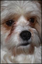 Cyrano, chien
