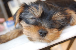 Elzo, chien Yorkshire Terrier
