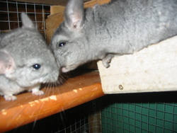 Snoopy Et Baloo, rongeur Chinchilla