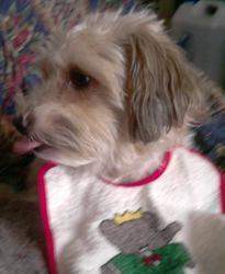 Divya, chien Caniche