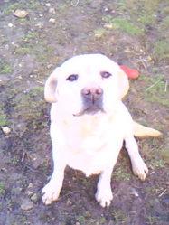 Tedy, chien Labrador Retriever