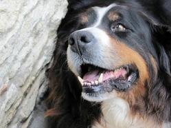 Sundy, chien Bouvier bernois