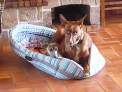 Jules, chien Chien du pharaon