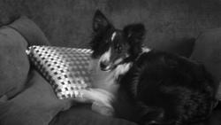 Fango Noir , chien Berger des Shetland