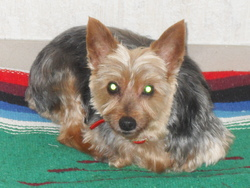 Ouiket, chien Yorkshire Terrier