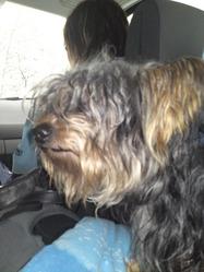 Rocky, chien Yorkshire Terrier