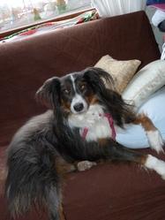Anis, chien Berger australien