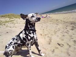 Chocolat, chien Dalmatien