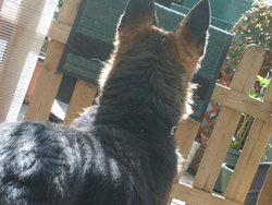 Mabrouka, chien Berger allemand
