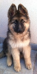 Ginger, chien Berger allemand