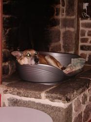 Aki, chien Berger belge