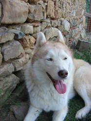 Paprika, chien Husky sibérien