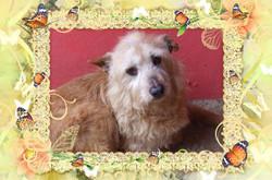 Sonia, chien Podenco portugais