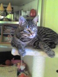 Isis, chat Gouttière