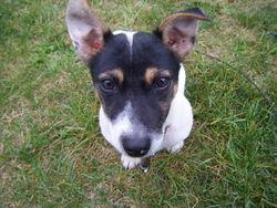 Elya, chien Jack Russell Terrier