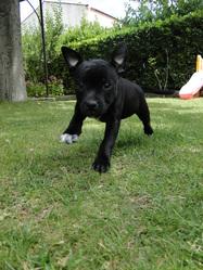 Gaéna, chien Staffordshire Bull Terrier