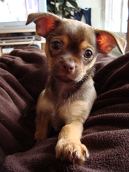 Feusty, chien Chihuahua