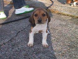 Capsul, chien Beagle