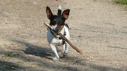 Spiky, chien Jack Russell Terrier