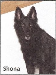 Shona, chien Berger belge