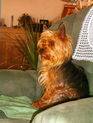 Arthur, chien Yorkshire Terrier