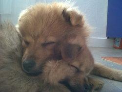 Rox, chien Spitz finlandais