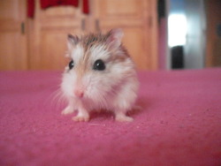 Léo, rongeur Hamster